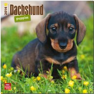 Dachshund Puppies 2014 18-Month Calendar (Multilingual Edition)